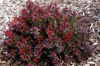 berberis cabernet.jpg