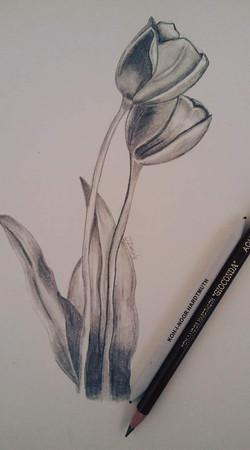 Tulip Drawing