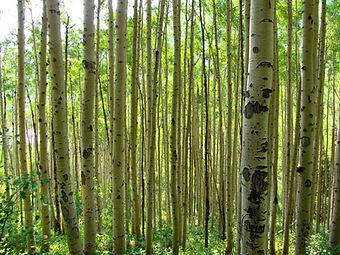 A grove of aspen trees.