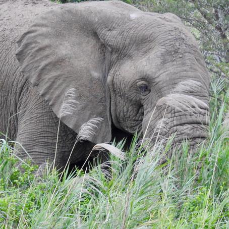 Het geluid van een etende olifant .....