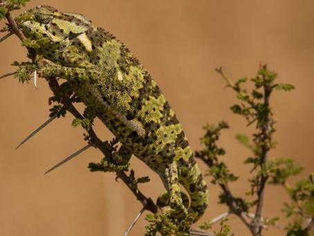 About Chameleons