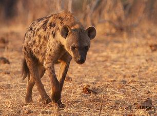 hyaena spotted.jpg
