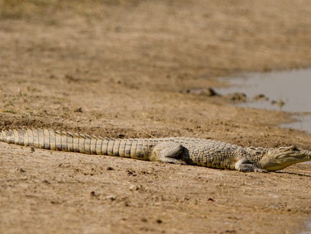 About Crocodiles