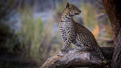 leopard cub-1609.jpg