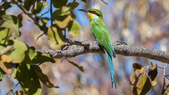 swallow tailed bee eater-2486.jpg