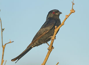 drongo fork-tailed.jpg
