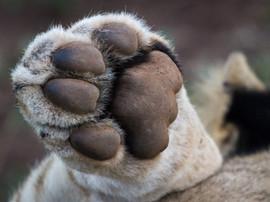 lion paw-0444.jpg