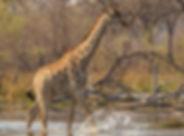 giraffe southern.jpg