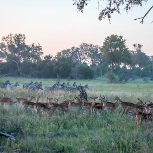 Impalas & Zebras