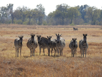Wo sich Hyänen aund Zebras gute Nacht sagen /  Where hyenas and zebras say good night to each other
