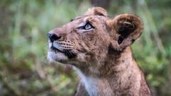 lion cub-0285.jpg