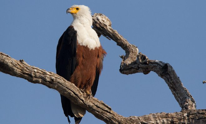 AGA Blog - African Fish Eagle