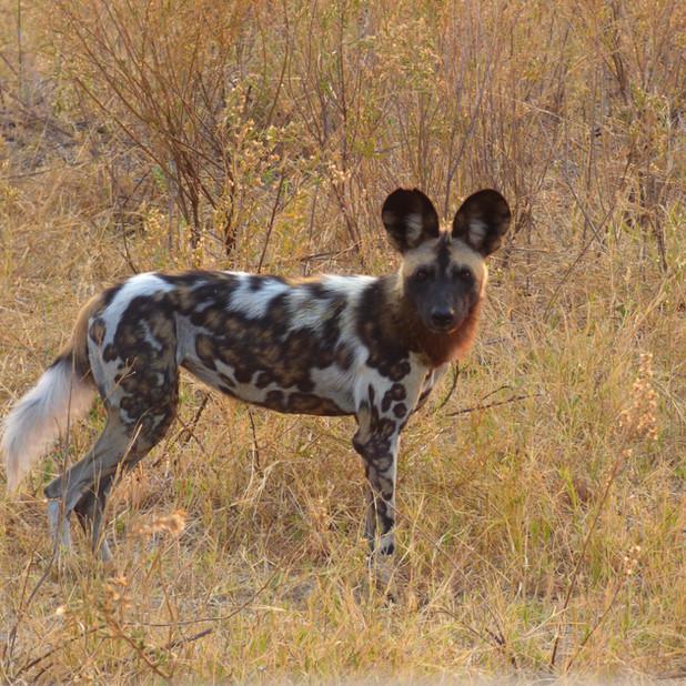Wild dog sighting