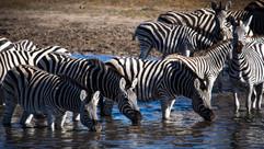 buteti zebra migration-2836.jpg