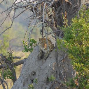 Leopard sighting