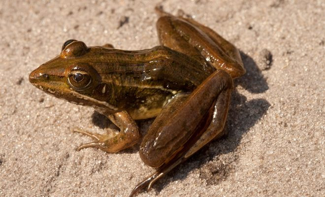 AGA Blog - About Frogs