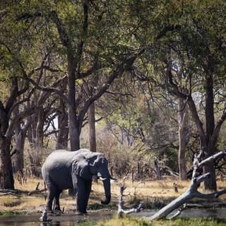 Kwhai Elephant Bull.jpg