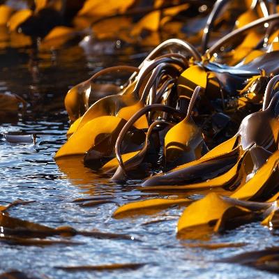 seaweed snacks has health benefits