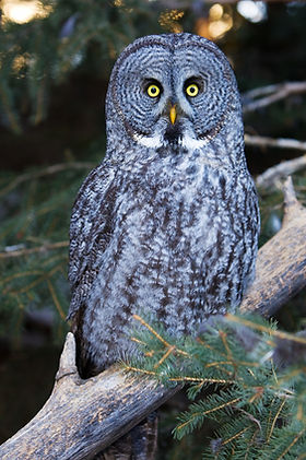 Image of GreyOwl symbolizing Deah Curry, intuitive reader, certified coach, spiritual counselor