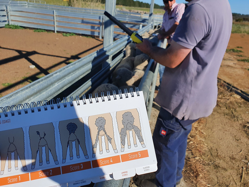 Sheep producers collaborate to discuss dag scoring non-mulesed sheep.