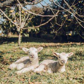 Sheep Fertility, Genetics or Management - The Booroola Story