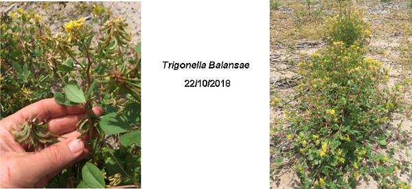 Trigonella Balansae 2018.png