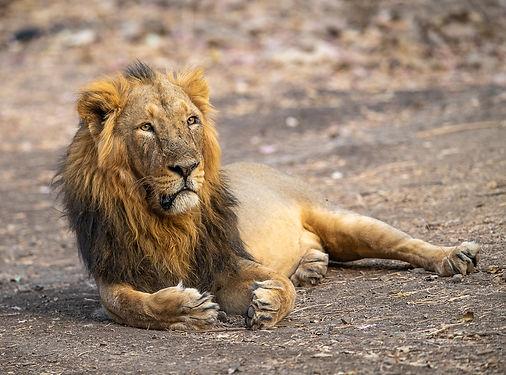 Lion-7642.jpg