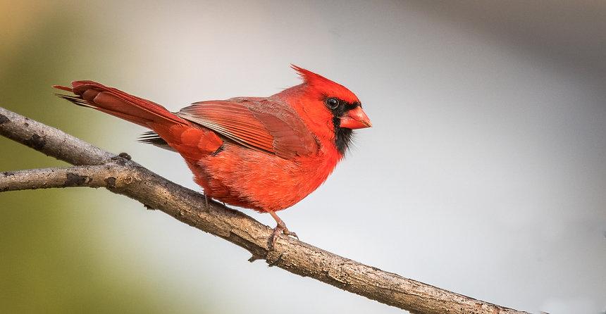 Cardinal-1118.jpg