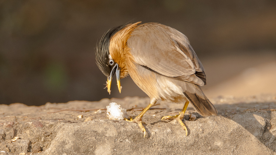 The Story Behind the Shot - Brahminy Starling Snack