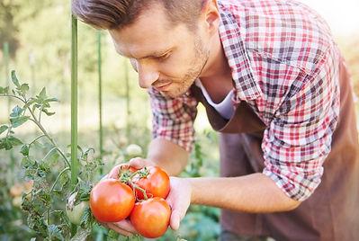 cerca-hombre-mirando-su-cosecha-tomate_3