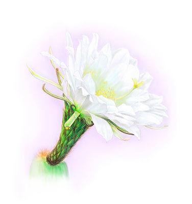flor echinacia.jpg
