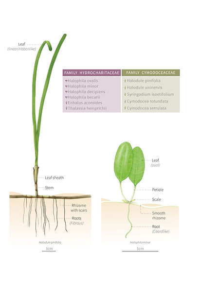 parts seagrasses-01.jpg