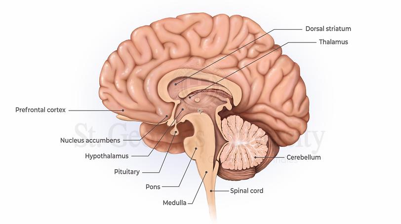 brain anatomy.png