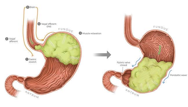 stomach-motility1 copy.jpg