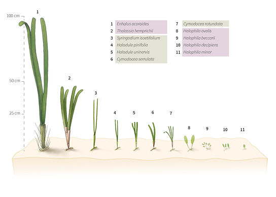 seagrasses sizes.jpg