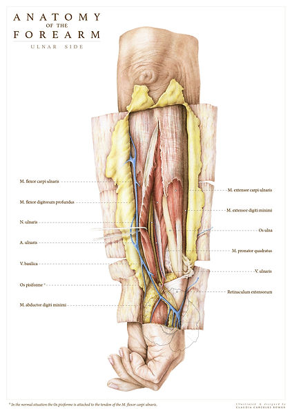 Arm dissection A4-02-01.jpg