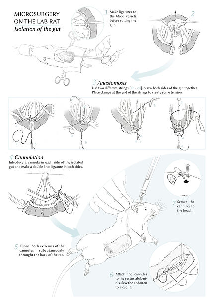 surgery on laboratory rat