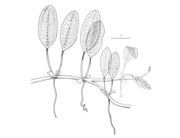 halophila ovalis-01.jpg
