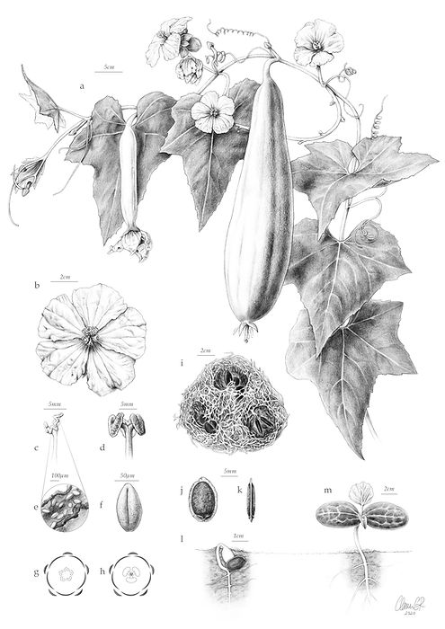 Luffa aegyptiaca illustration