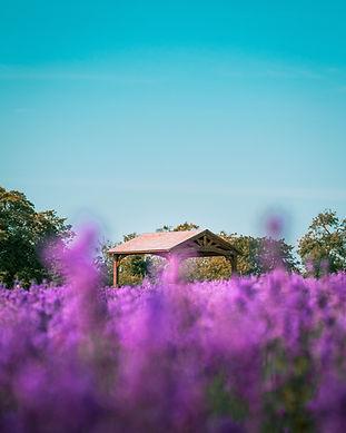 Blue Sky + lavendar flowers.jpg