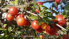 Kirilovo Fruit Tree Copyright Rayne Hall