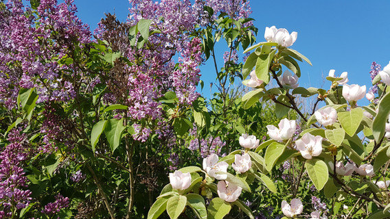 lilac and quince Kirilovo Copyright Rayn