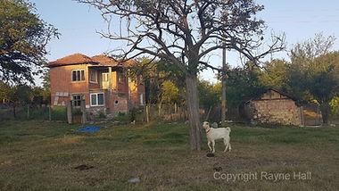 Kirilovo Goat Copyright Rayne Hall.jpg