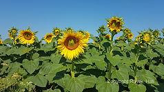 Kirilovo Sunflowers Copyright Rayne Hall
