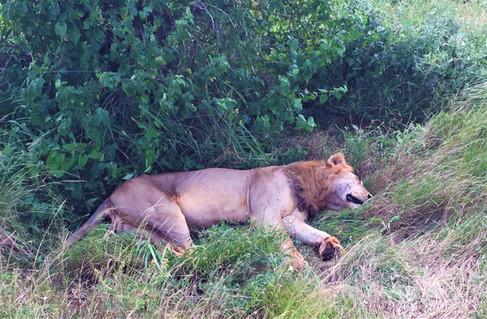 Löwe Afrika