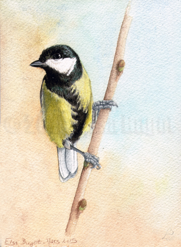 Parus major_copyright-Elsa-Bugot.jpg