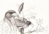 Piguarges à queue blanche