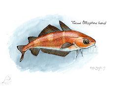 Trisopterus luscus_ElsaBugot2019.jpg
