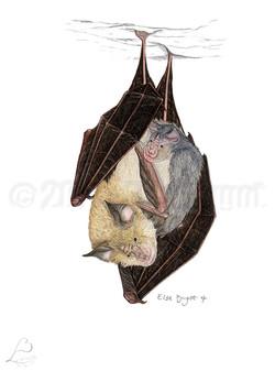 Rhinolophe euryale et son petit