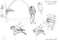Carduelis carduelis_croquis_ElsaBugot201